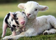 Piglet and Lamb Wallpaper from Baby Farm Animals. This is a cute picture of a spotted piglet with a lamb. Baby Farm Animals, Animals And Pets, Funny Animals, Cute Animals, Baby Sheep, Wild Animals, Miniature Pigs, Teacup Pigs, Amor Animal