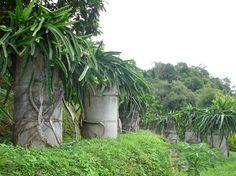http://www.vivapitaya.com/plant_files/dumetella.jpg