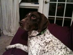 Maddie is an adoptable German Shorthaired Pointer Dog in Fayetteville, AR. Maddie is a beautiful purebred German Shorthaired Pointer. She joined rescue 4 months ago, when she was saved as part of a cr...
