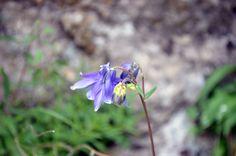flor aguileña