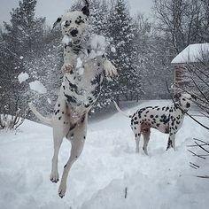 Dalmatian snow day  Via @benjahmin7 #DalmatianNation by dalmatiannation #lacyandpaws
