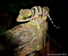 Striped thicktoed gecko   Picture taken in Perlis, M'sia
