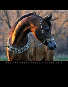 """March cover  """"Arabian Horse World""""  photo by Nancy Pierce. WC Ali Gazaal owned by Western Cross Ranch . Tack by ME, Arabian Fancy!"""