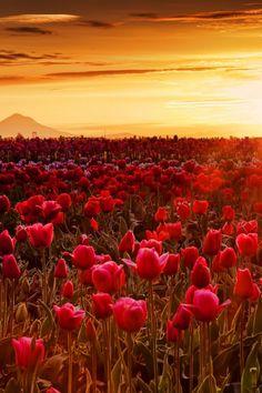 Woodburn Sunrise // by stokes rx72  Tulip sunrise - Woodburn, Oregon