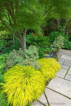 Vashon Island, WA: Japanese forest grass (Hakonechloa macra 'All Gold') lights up a shadel garden featuring pieris, hellebores and hostas in Froggsong Garden in summer