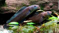 """Otra especie descubierta: el pez enano """"caminante"""" cabeza de serpiente, o Channa andrao, puede respirar aire y sobrevivir en la tierra hasta por cuatro días."""