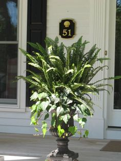 Ferns and Algerian Ivy. Great in Florida in the full sun. Front porch plant death zone?