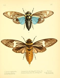 Tosena. Aid to the identification of insects v.2  London :E.W. Janson,1880-90.  Biodiversitylibrary. Biodivlibrary. BHL. Biodiversity Heritage Library