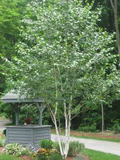 How 'bout a couple of Japanese birch in the backyard?