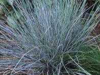 The blue fescue is a dense, tufted evergreen grown for its steely blue leaves.  It flowers in early to midsummer.