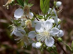 Campomanesia pubescens, Guabiroba-felpuda, Guabiroba, Guabirova, Guavirova, Gavirova, Araçá-congonha, Guavira, Gabirobeira, Guabiram, Guabirababa