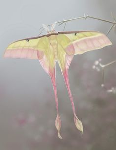 Chinese Moon Moth