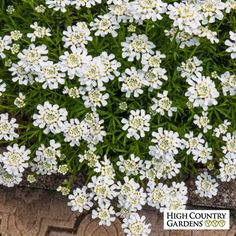 White Iberis sempervirens Purity, Iberis sempervirens Purity, Purity Dwarf Candytuft