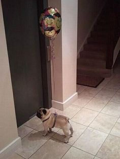 ... the Balloon Pug is considered the cleverest of all dogs. Unlike other dogs, which tend to inhabit homes and yards of the typical family, the Balloon Pug may strike at any place, any time. It is capable of disguising its voice, and generally preys on sad, sick or depressed women.