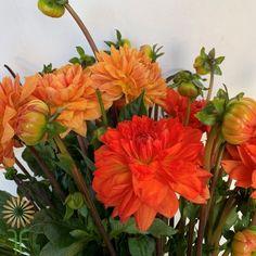 Orange Dahlias | Wholesale Flowers & DIY Wedding Flowers Orange Flowers, Cut Flowers, Colorful Flowers, Orange Color, Dahlia Flowers, Fall Color Palette, Diy Wedding Flowers, Flowers Online, Dahlias