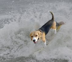 happy beagle in the surf