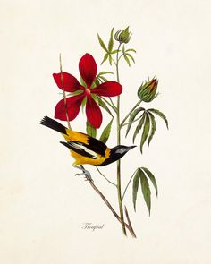 VINTAGE AUDUBON TROUPIAL GICLEE CANVAS PRINT A timeless Audubon bird study has been digitally restored and added to a lightly aged vintage background which retains some of the original imperfections o