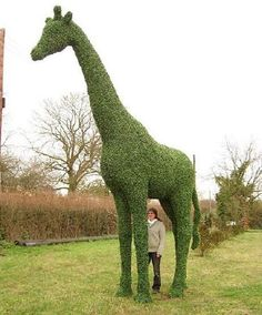 Beautiful giraffe topiary