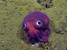 Imagem da câmera NautilusLive mostra lula de olhos arregalados no fundo do…