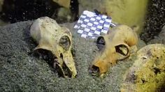 Researchers say they've found the largest single collection of lemur remains, potentially dating back thousands of years, hidden in a series of underwater ca...