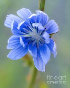 Cool Chicory by Dorothy Lee #photography #naturephotography #flowers #gifts