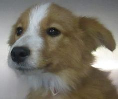 Petango.com – Meet Major, a 6 months 3 days Pomeranian / Terrier available for adoption in Fort Worth, TX