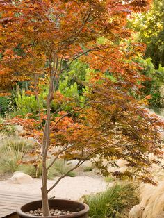 It's definitely possible to grow Japanese maples anywhere, whether you live in a hot climate, cold climate, or anywhere in between.  Add these gorgeous trees to your landscape to create a charming front yard or backyard.