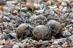 Red Wattled Lapwing eggs