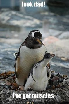 Funny Penguins   This is my Picture Page » funny-pictures-little-penguin-has-muscles