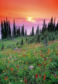 Alpine wildflower meadow at sunset, Mount Revelstoke National Park, BC, Canada