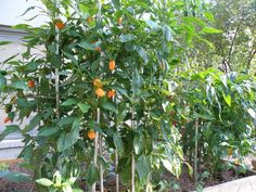 Staked Backyard Garden Pepper Plants : Ways To Staking Pepper Plants