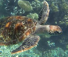 Beautiful female sea turtle, at the Great Barrier Reef, Outer Reef, QLD, Australia. Taken on GoPro as she swam past us while we were snorkelling. These wonderful, beautiful creatures need to be protected.