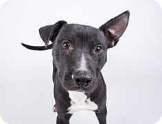 ACT QUICKLY RUNNING OUT OF TIME Decatur, GA - Pit Bull Terrier Mix. Meet Washington, a dog for adoption. http://www.adoptapet.com/pet/16223324-decatur-georgia-pit-bull-terrier-mix