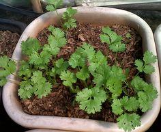 Como plantar coentros / How to plant coriander