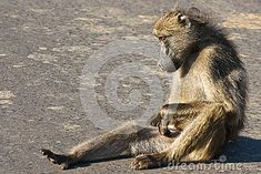 Photo about A chacma baboon scratching itself. Image of sitting, african, baboon - 31322266 Baboon, Kangaroo, Royalty, Southern, African, Stock Photos, Animals, Image, Royals