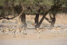 Springbok 'pronking' ear the Hoanib River! Wildlife at Hoanib Skeleton Coast Camp Africa Travel, Us Travel, Mountain Zebra, Namib Desert, African Elephant, Countries Of The World, Continents, Wilderness, Touring