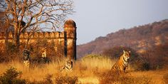 Sher Bagh Luxury Camp | Ranthambore National Park, India.