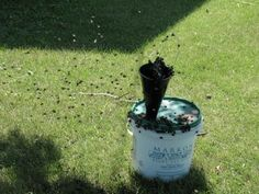 DIY Japanese beetle trap. Free food for the chickies!