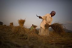 Indian women harvest paddy at a rice field on the outskirts of Gauhati, India, Thursday, Nov. 20, 2014.About 60 percent of Indians work in the agriculture sector that contributes 16 to 20 percent of the nation's gross domestic product. (AP Photo/Anupam Nath)