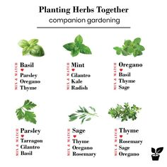 what herbs grow well together? - companion planting herbs - - Planting herbs together is a step toward a flowering garden. moreover, Growing herbs together can promote the health and growth of your garden. Herb Companion Planting, Palette Beet, Culture D'herbes, Container Herb Garden, Herb Gardening, Herb Garden Indoor, Balcony Herb Gardens, Raised Herb Garden, Herb Garden Planter