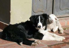Border Collie with lamb