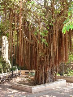 Old San Juan, Puerto Rico (I love these trees!)