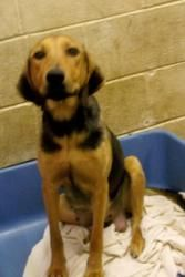 DIXIE is an adoptable Hound Dog in Summersville, WV. Dixie is a female Hound/Feist mix. She is two years old and has short brown fur with black on her back, shoulders, and a small black spot on top of...