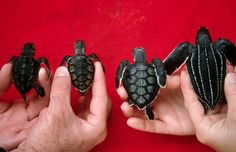 This picture demonstrates the differences between four different types of sea turtle hatchlings that you could find in Florida. (L to R) Loggerhead, Hawksbill, Green and Leatherback.