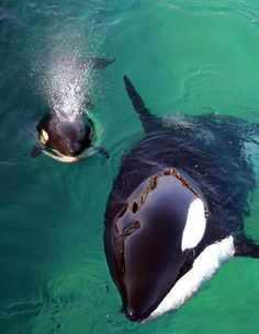 """Mama Orca and baby. Orcas, known as """"killer whales"""" aren't whales at all. They are the largest dolphins. And most powerfully aggressive, at the top of their food chain. Wild Life, Beautiful Creatures, Animals Beautiful, Magical Creatures, Adorable Animals, Fauna Marina, The Ocean, Ocean Life, Photo Animaliere"""