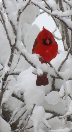 Love this Beautiful Cardinal. Snow covered branches with cardinals dotted here and there. The contrast in color is striking. Pretty Birds, Love Birds, Beautiful Birds, Beautiful World, Animals Beautiful, Cute Animals, Hirsch Illustration, Cardinal Birds, Cardinal Meaning