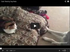 Cats Stealing Dog Beds. Love this video