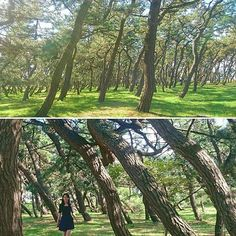 【ayaaa.555】さんのInstagramの写真をピンしています。《* 🌱 a pine forest 🌱 * 🌱🌱🎵松の林を探索🎵🌱🌱 📷 2016年9月 撮影 北海道 Hokkaido, Japan * * #北海道#hokkaido#japan #pine#pinetree#pinetrees #松#林#forest#trees#green #travel#travelphoto#traveling #view#scenery#landscape #風景#景色#自然#nature #instatrees#instatree #instatravel#instanature #pineforest#naturelover #exploring#explore》
