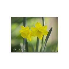Blumenbild auf Leinwand, Fototapete oder Kunstdruck: Goldener Frühlingstag mit Narzissen