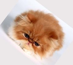 Solid Chocolate Persian | Cats Make The World Go Round